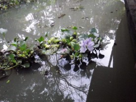 Lotus flowers in the water.