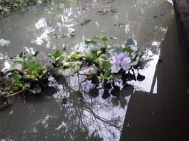 Lotus flowers in the water.