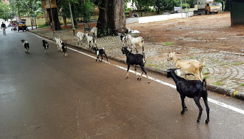 Kochi goats 2
