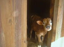The baby cow.