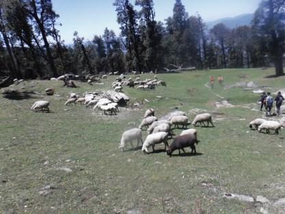 Sheep on the way down.
